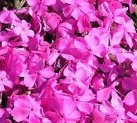 Fort Hill Phlox Picture