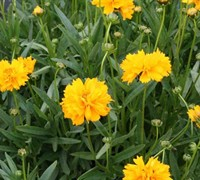 Early Sunrise Coreopsis Picture