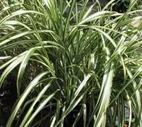 Cabaret Grass Picture