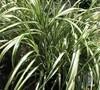 Cabaret Grass