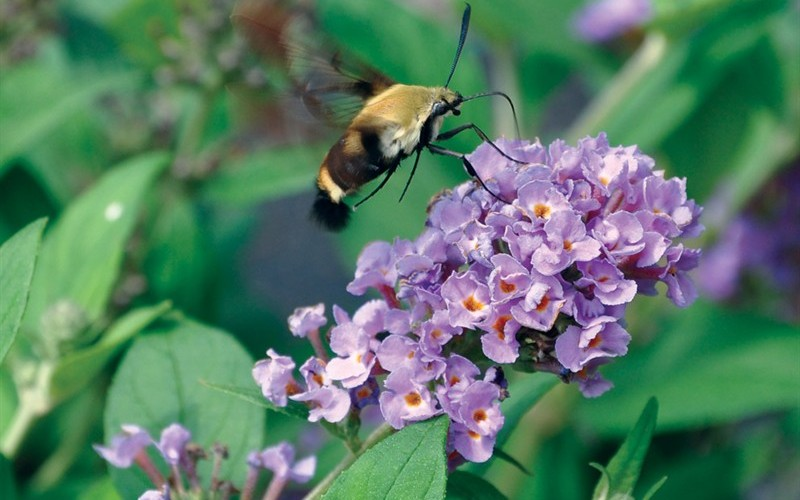 Lo And Behold Blue Chip Butterfly Bush Picture