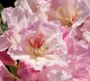 Southgate Breezy Rhododendron