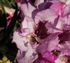 Southgate Radiance Rhododendron