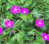 New Hampshire Purple Geranium