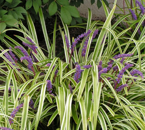 Picture of Variegated Liriope