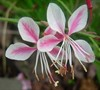 Pink Cloud Gaura