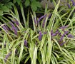 Variegated Liriope