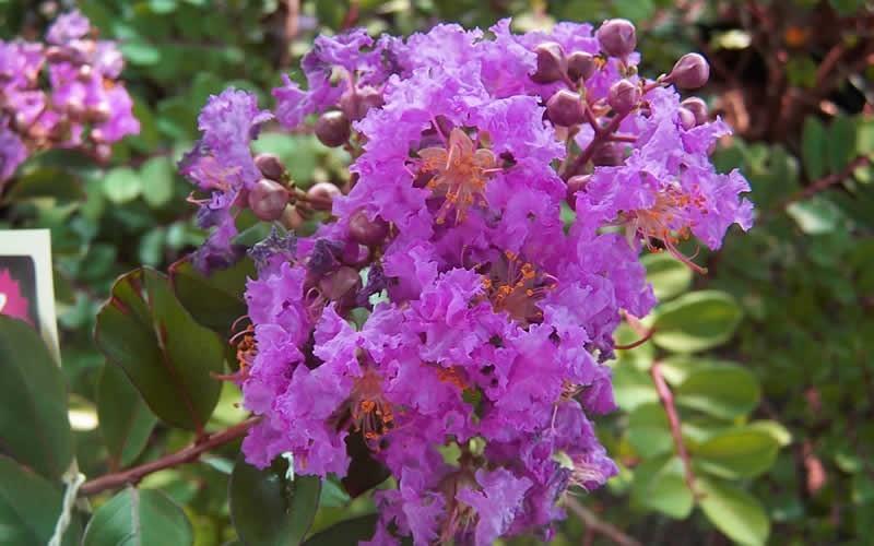 Early Bird Purple Crape Myrtle Picture