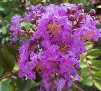 Early Bird Purple Crape Myrtle Picture