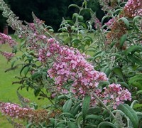 Pink Delight Butterfly Bush Picture