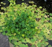 Water Clover Picture
