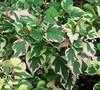 Chameleon Plant Picture