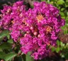 Berry Dazzle Crape Myrtle