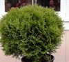 Hetz Midget Arborvitae