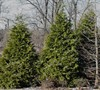 Green Giant Arborvitae