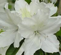 Gumpo White Azalea Picture