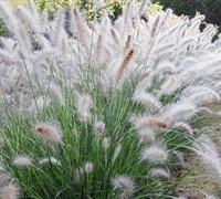 Hameln Fountain Grass Picture