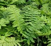 Shaggy Shield Fern
