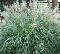 Adagio Dwarf Maiden Grass Picture