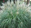 Adagio Dwarf Maiden Grass