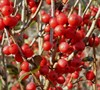 Afterglow Winterberry Holly