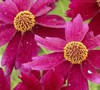 Limerock Ruby Coreopsis