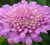 Butterfly Pink Pincushion Flower
