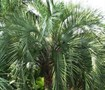 Picture of Pindo Palm