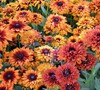 Cherokee Sunset Rudbeckia