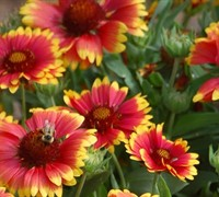 Gaillardia Arizona Sun Picture