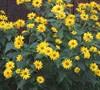 Summer Sun Heliopsis