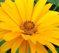 Summer Sun Heliopsis Picture
