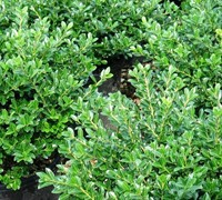 Green Luster Holly Picture