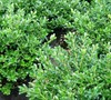 Green Luster Holly