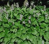Royal Standard Hosta Lily