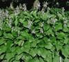 Royal Standard Hosta Lily