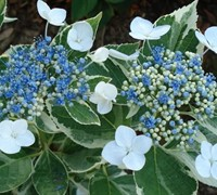 Variegated Hydrangea Picture