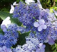 Blue Bird Hydrangea Picture