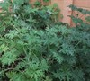 Citronella Geranium