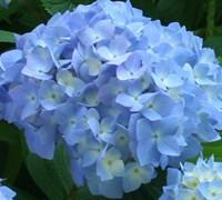 Nikko Blue Hydrangea Picture