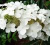 Semmes Beauty Oakleaf Hydrangea