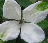 Alba Luxurians Clematis Picture