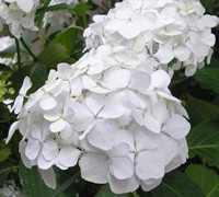 Sister Theresa Hydrangea Picture