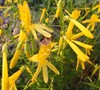 Yellow Pineleaf Penstemon