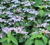 Woodlander Hydrangea