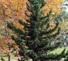 Black Dragon Japanese Cedar