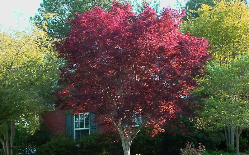 Emperor One Japanese Maple Picture