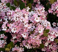 Snow Pink Indian Hawthorne Picture