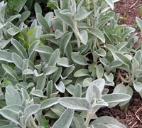 Yellow Lambs Ear Picture