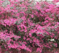 Pizazz Loropetalum Picture